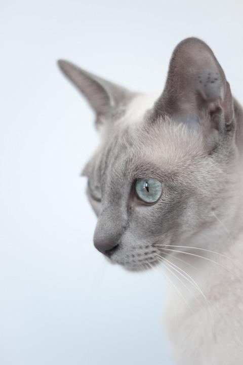 Tonkinese macska
